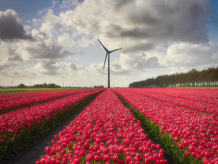 Blühendes Tulpenfeld