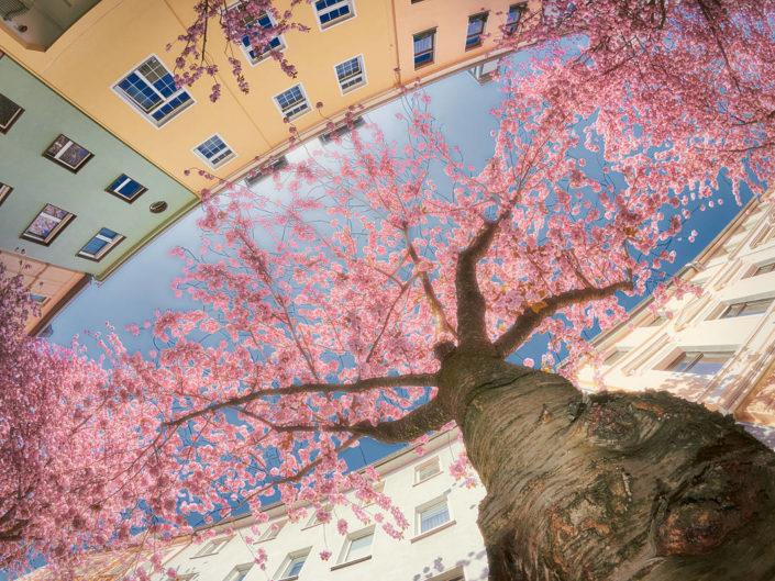 Kirschbaum in voller Pracht