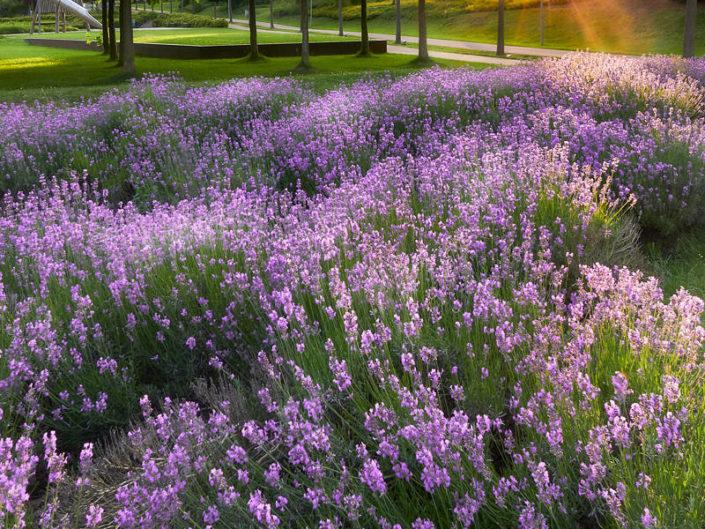 Lavendel im Sommerlicht