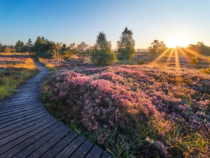 Blühende Heide im Venn