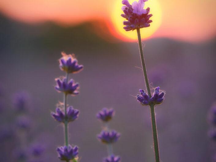 Lavendelsonne